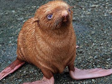 La pequeña foca pelirroja