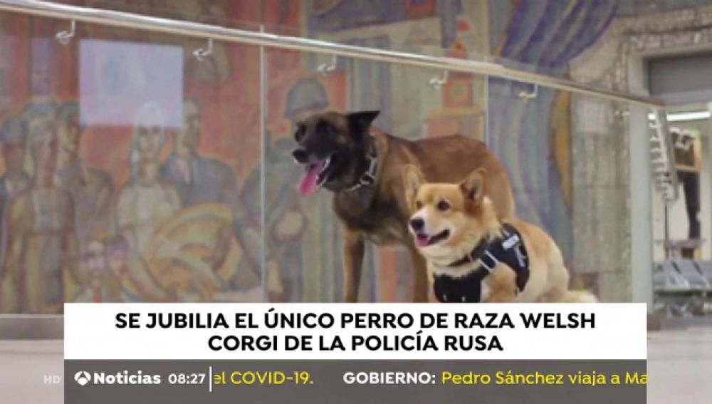El único perro de raza Welsh Corgi de la policía rusa se jubila tras siete años de servicio